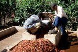 Climate Change Affects Tanzania Coffee Production