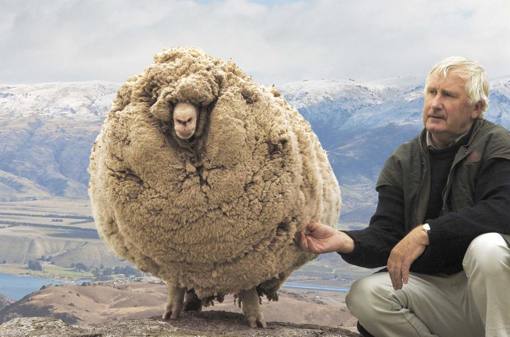 Unsheared sheep