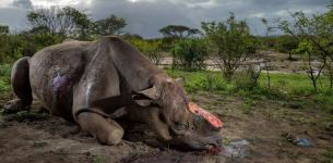 16 Rhino Carcasses Found At the Kruger National Park