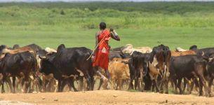 600 Herdsmen Killed, Two Million Cattle Rustled in Two Years – Miyetti Allah