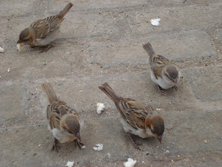Iago sparrows, Passer iagoensis, Santa Maria, Sal Island, Cape Verde, Image Credit: Liz Anderson