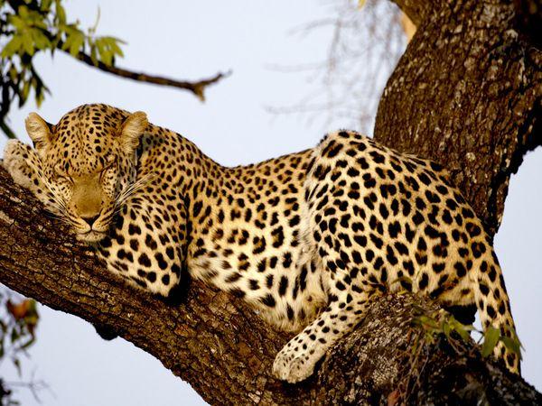 Leopard in tree resting