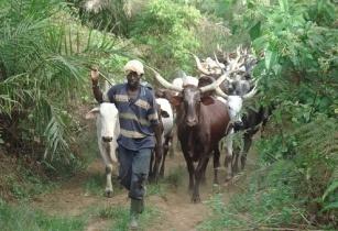 Image result for livestock farming nigeria