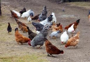 Chickens Africa hyper7pro