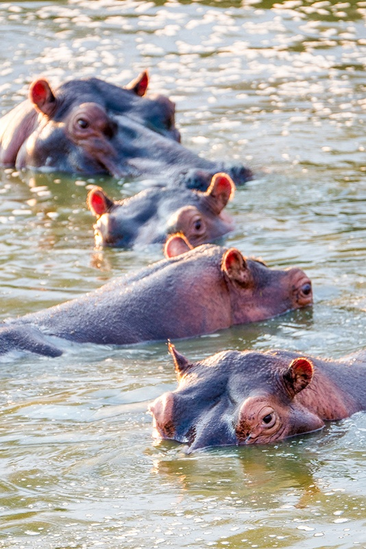 The ever watchful hippo's