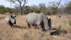 Rhino and calf walking by