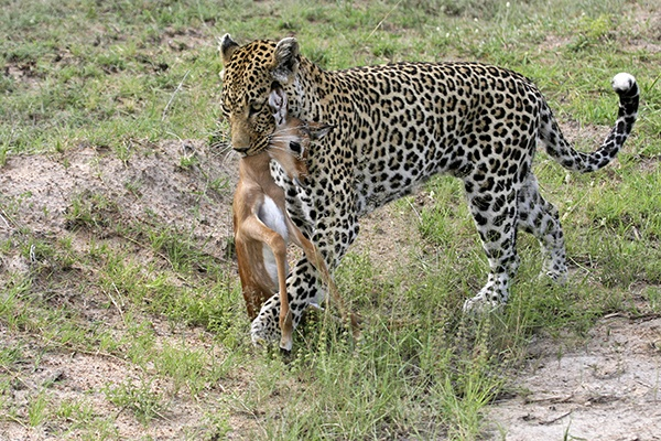 Female leopard walking off with her kill