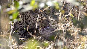 Leopard feeding on Cane rat