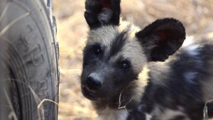 Wild dog pups checking out the vehicle