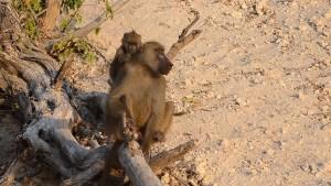 Baboon Alarm Call   Boatsafari