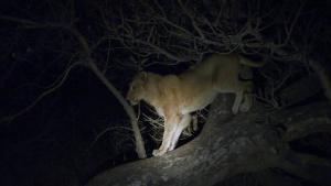 Lion sub adult in marula   Night