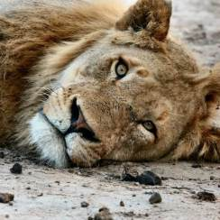 poisoned lions in Namibia