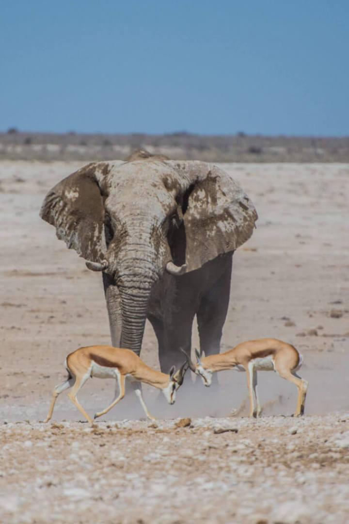 Namibia's elephant in desert