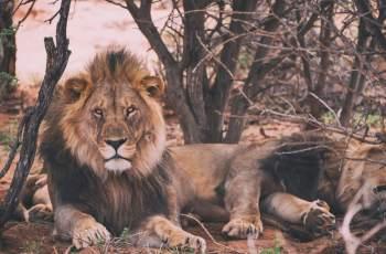 Namibia's lions in desert