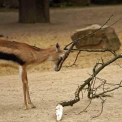 The Springbok
