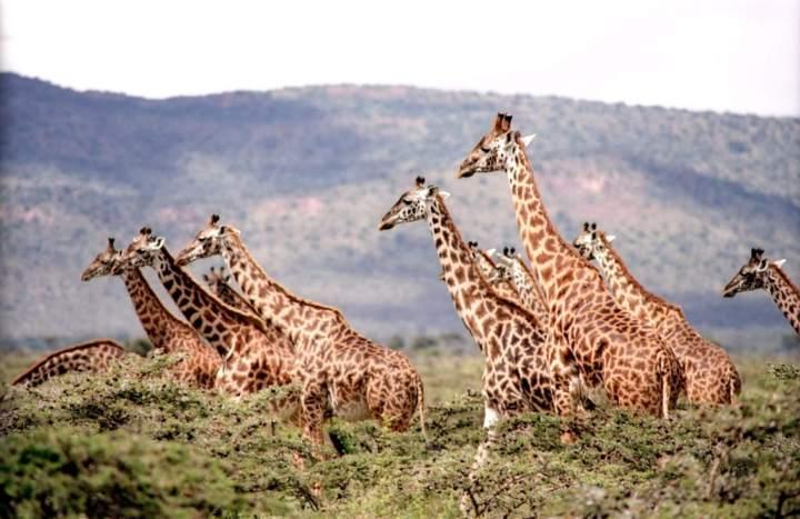 Photo: Girrafes -Akagera,Rwanda