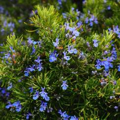 Desert herbs: Rosemary tree or Laurus nobilis