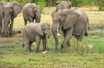 Elephants in Botswana wildlife
