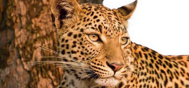 africa wildlife leopard