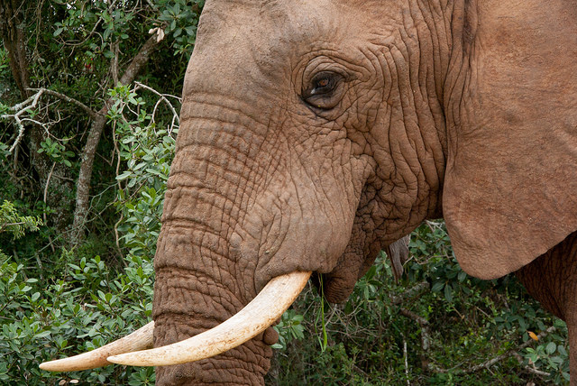 Game Theory And China's Ivory Ban: Scenarios That Could Save Africa's Elephants – Or Lead To Their Extinction