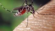 Le moustique qui transmet le paludisme
