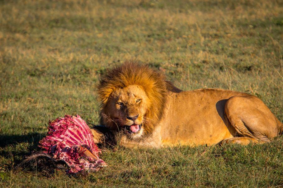 lionmeal