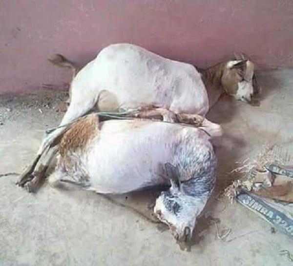 Kenya/Insolite: il viole à mort les deux chèvres appartenant à sa mère