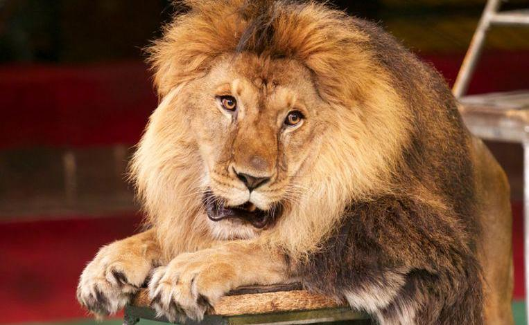 Photo of Portugal also forbids wild animals in the circus