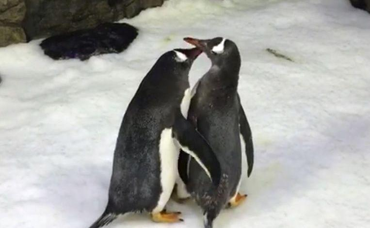 Photo of Homosexual penguin couple hatch egg