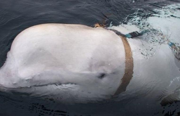 Norwegian fishermen attacked by white dolphin with armor