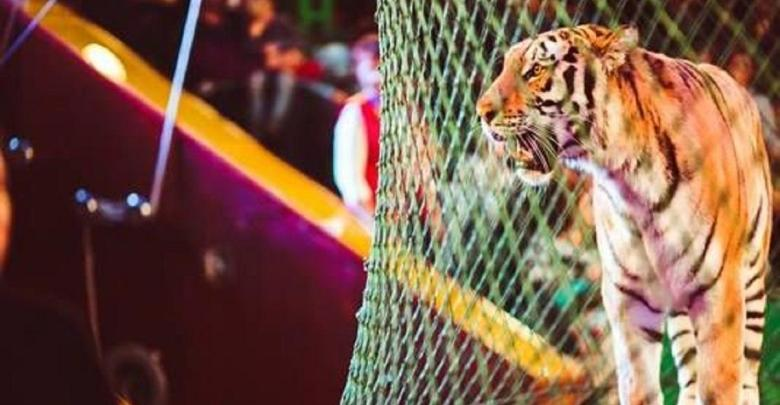 Photo of Circus Tigers grind Italian performer, play with his corpse