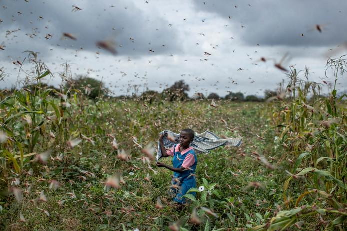 Hundreds of millions of locusts are eating Kenya dry