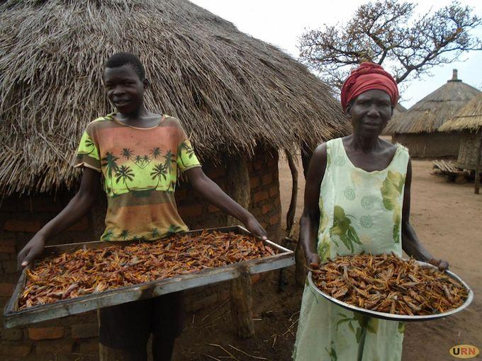 Locusts invasion in Uganda: residents turn locusts into food
