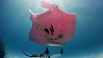 Photo of Photographer captures unique pink giant manta on camera