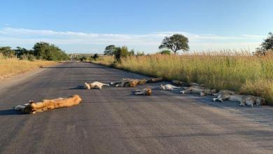 Photo of Lockdown: Lions in Kruger Park enjoying the road in South Africa
