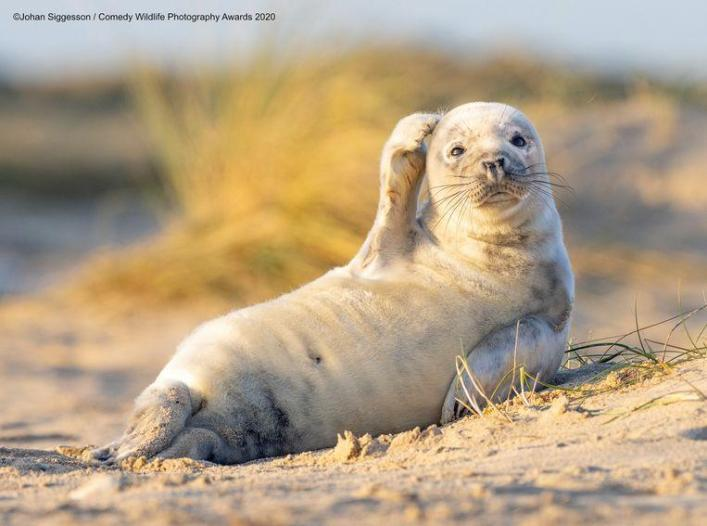 This seal in the British Winterton-on-Sea seems to have lost its way, funniest animal pictures of the year