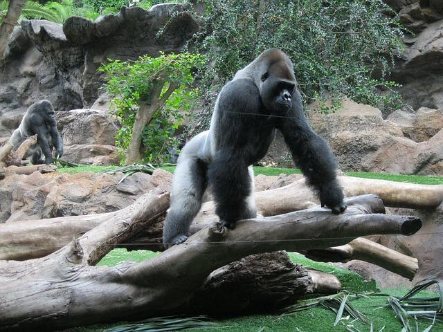 All about Silverback Gorilla: Size, strength, weight, fight, behaviors