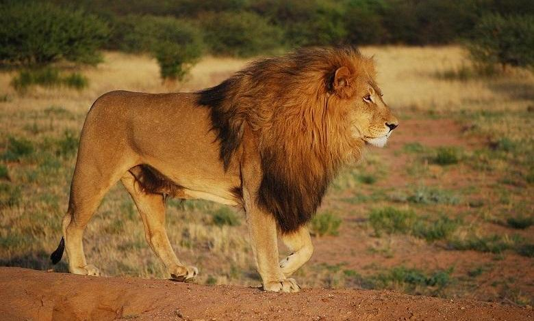 Photo of Over 12,000 captive-bred lions are killed in South Africa every year
