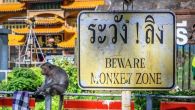 Photo of Monkey gang war: Thai city strikes back against real monkeys – videos