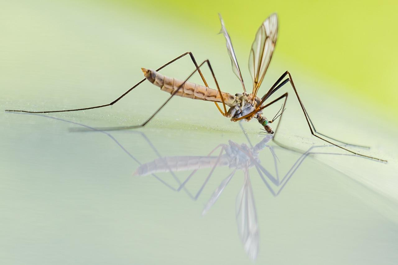 Myth about transmission of coronavirus to humans by mosquitoes swept away