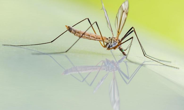 Photo of Myth about transmission of coronavirus to humans by mosquitoes swept away