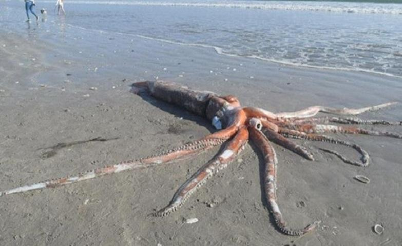 Rare 330-kilogram giant squid washes up on South African beach