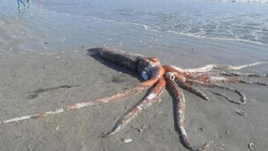 Photo of Rare 330-kilogram giant squid washes up on South African beach