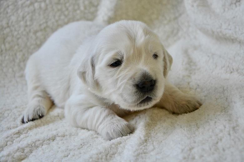 Charming little golden retriever puppy sleeps in a bowl [video]