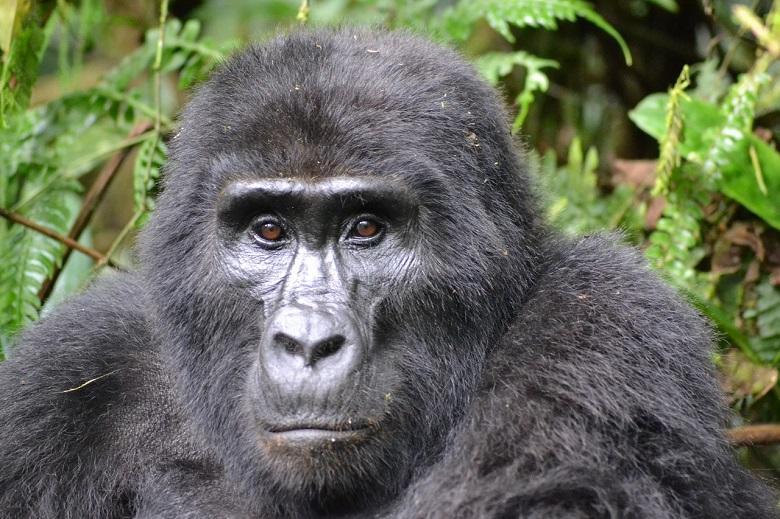 Poacher who killed mountain gorilla 'Rafiki' in Uganda imprisoned for 11 years