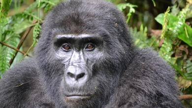 Photo of Poacher who killed mountain gorilla 'Rafiki' in Uganda imprisoned for 11 years