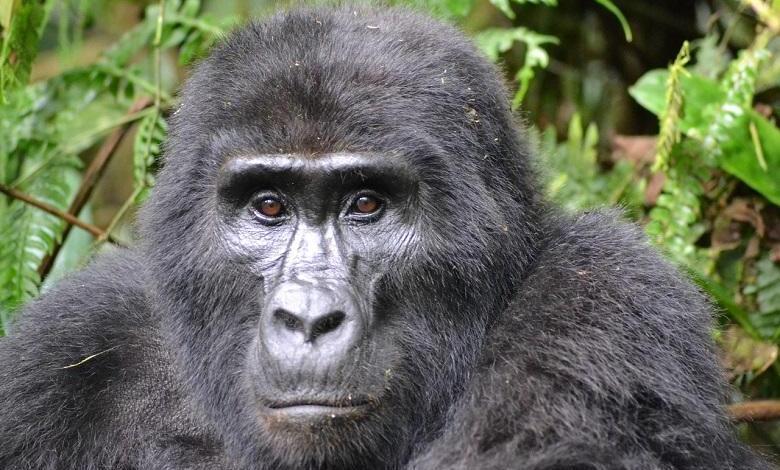 Photo of Poacher who killed mountain gorilla 'Rafiki' in Uganda imprisoned for 11 years