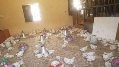 Photo of In Nigeria, a classroom transformed into a henhouse