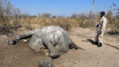 Photo of Cause of elephant death in Botswana remains a mystery