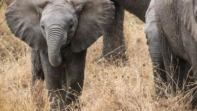 Photo of Number of elephants in Kenya has doubled in 30 years